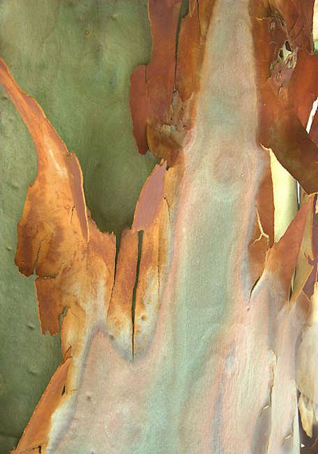 Eucalyptus #1 copyright by Paul Blieden