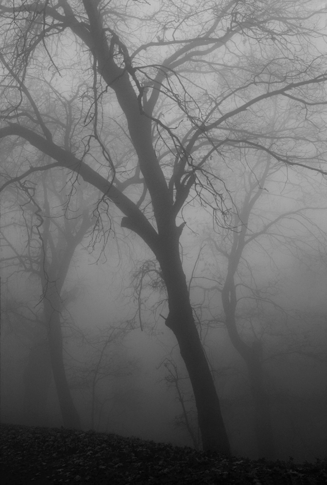 kuran_stan_oaks in fog_2