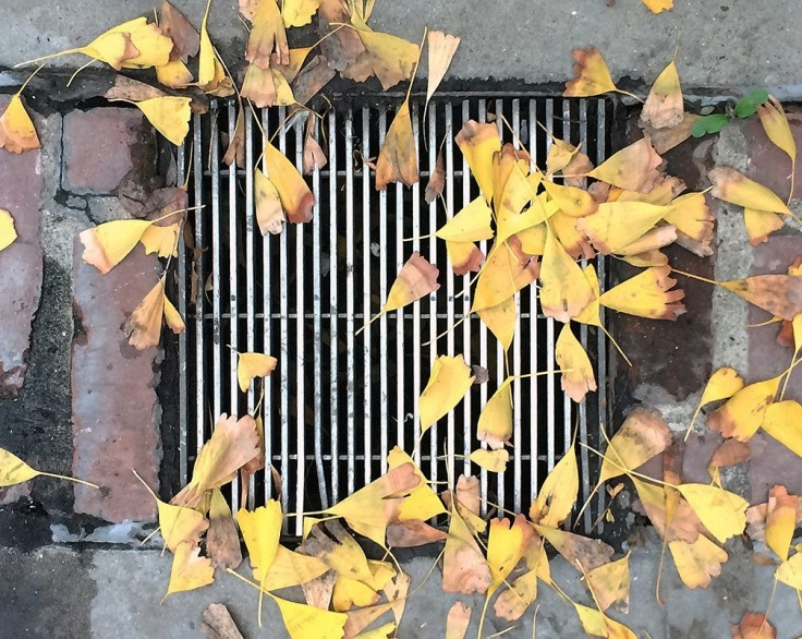 Karl1_Ginkgo leaves grate.jpg